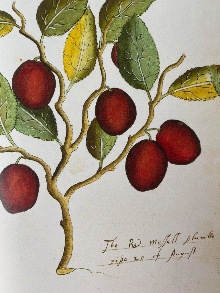 A sixteenth-century image of red plums growing on a branch.