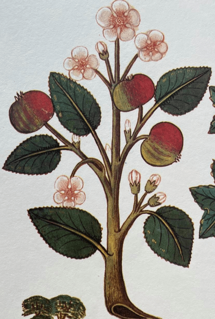 colour painting of an apple tree