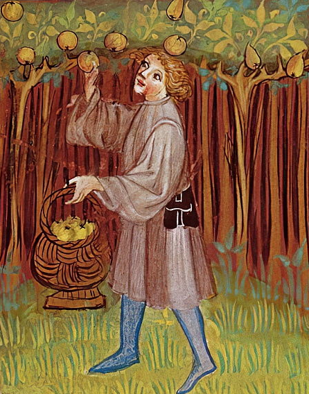 medieval man picks apples in an orchard