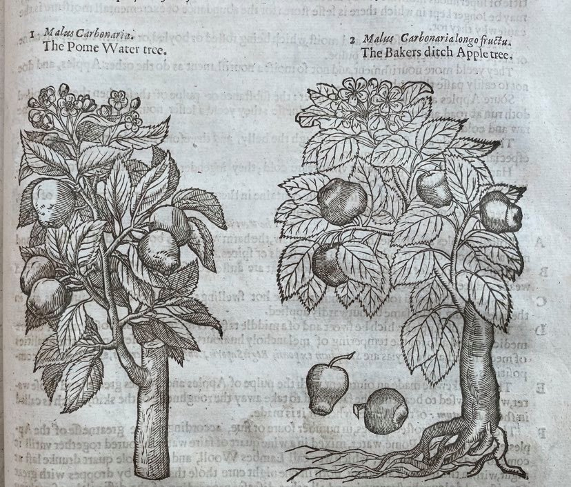 Hand drawings of old apple trees