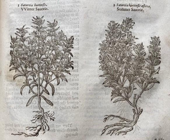 Savory, used in Tudor Sirups